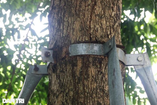 Cận cảnh gông cùm siết chặt hàng cây xanh đang tuổi lớn trên đường Hà Nội - 7