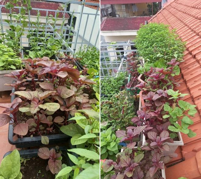 Gia đình làm vườn rau trên không xanh mướt nhờ rác thải nhà bếp - 7