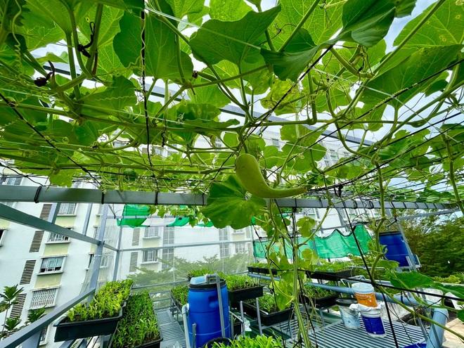 Vườn trồng rau, nuôi cá tươi sống trên sân thượng ở TPHCM - 5