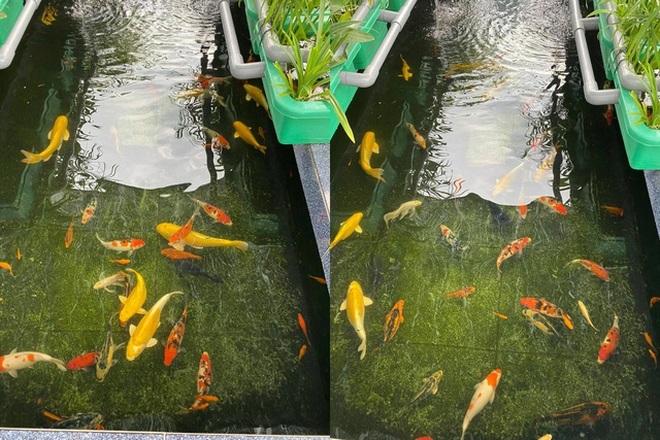 Vườn trồng rau, nuôi cá tươi sống trên sân thượng ở TPHCM - 7