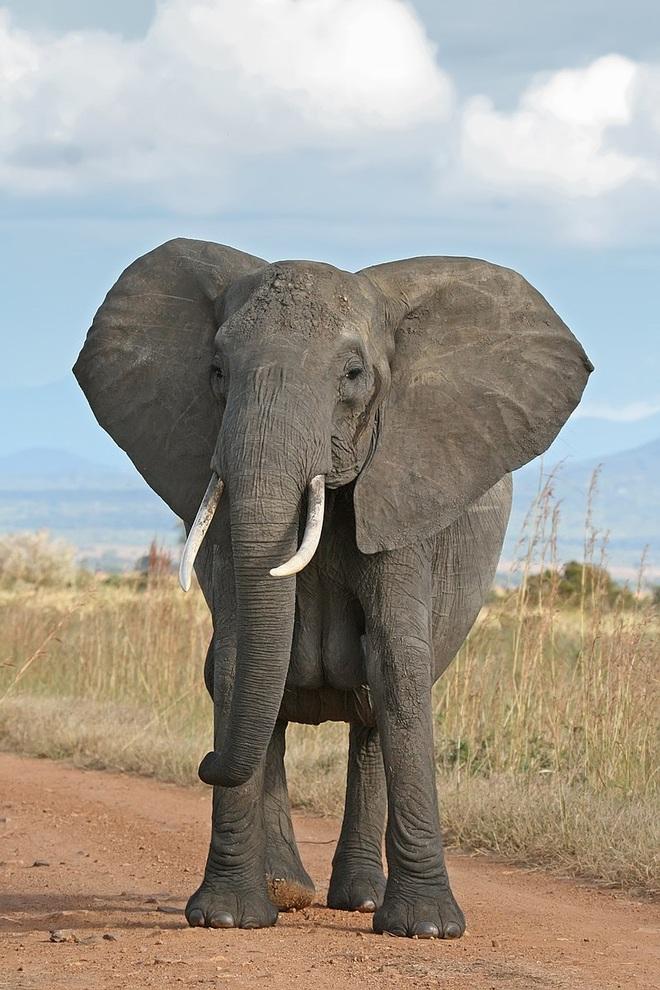 Cả gan trêu voi đang uống nước, ông vua đầm lầy trả giá bằng mạng sống - 1