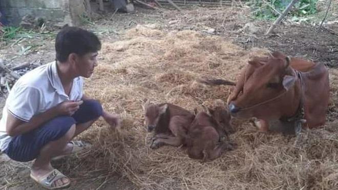 Kỳ lạ bò sinh 3 ở Thanh Hóa được hét giá 100 triệu đồng - 2