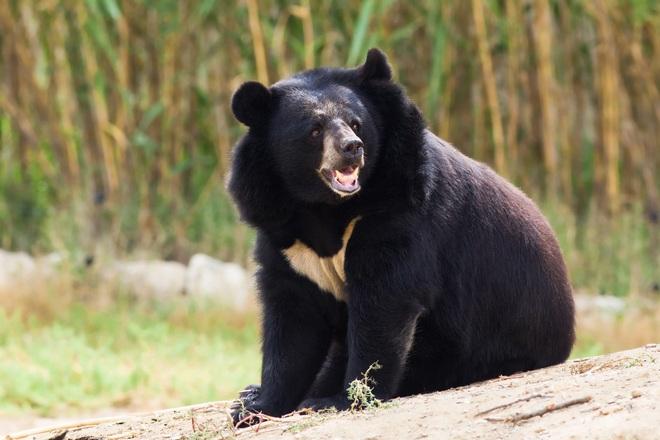 Hổ và gấu bất phân thắng bại trong trận chiến sinh tử - 1