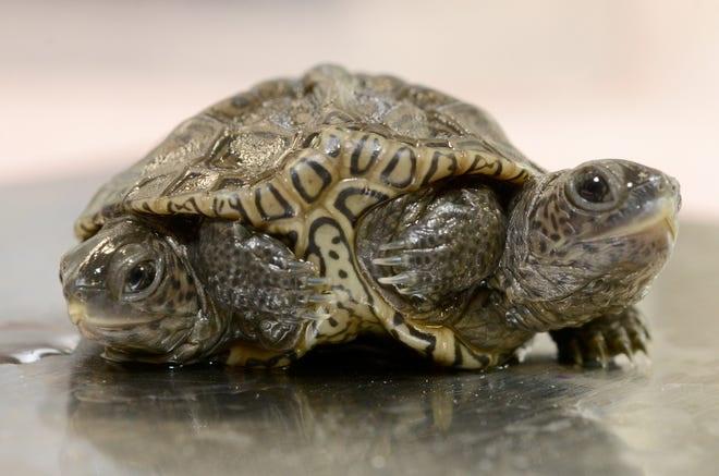 Con rùa kỳ lạ có hai đầu và sáu chân - 1