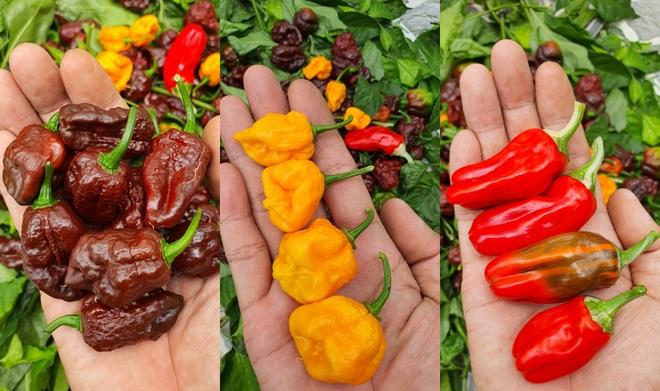 Hướng dẫn viên du lịch làm vườn trồng hàng chục giống ớt độc lạ ở Sài Gòn - 13