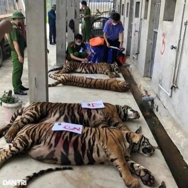 Vụ giải cứu 17 cá thể hổ: Hai đơn vị nhận nuôi 9 con hổ còn sống - 2