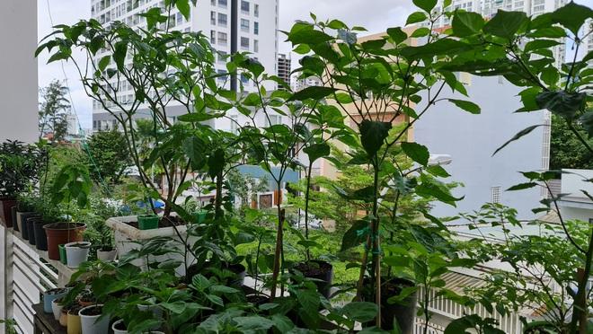 Hướng dẫn viên du lịch làm vườn trồng hàng chục giống ớt độc lạ ở Sài Gòn - 2