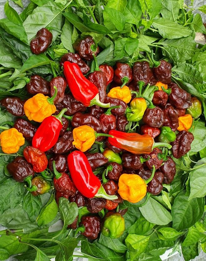 Hướng dẫn viên du lịch làm vườn trồng hàng chục giống ớt độc lạ ở Sài Gòn - 4