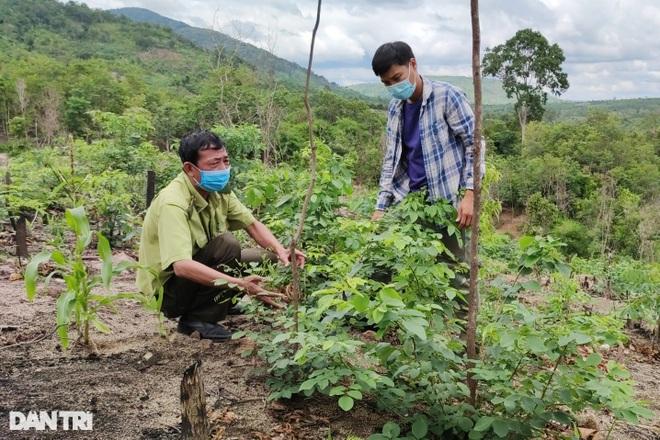 Làng nghèo sở hữu gia tài tiền tỷ nhờ cây rừng quý mọc trên đất rẫy - 4
