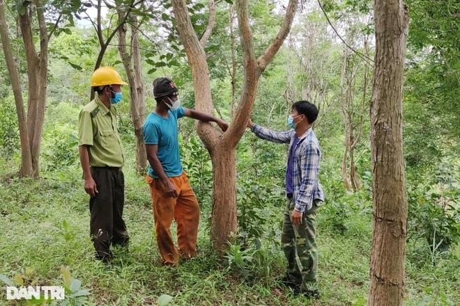 Làng nghèo sở hữu gia tài tiền tỷ nhờ cây rừng quý mọc trên đất rẫy - 2