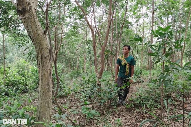 Làng nghèo sở hữu gia tài tiền tỷ nhờ cây rừng quý mọc trên đất rẫy - 1