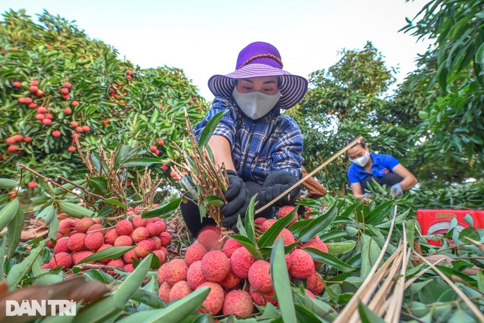 Công an huyện Lục Ngạn leo đồi, đi thuyền giúp nông dân thu hoạch vải - 10