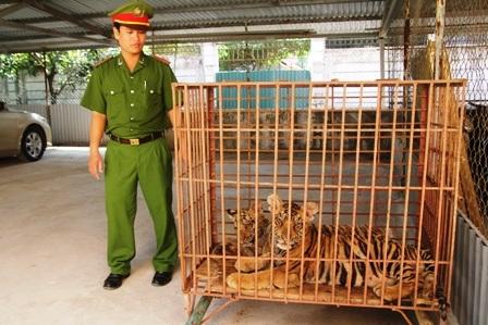 Hai cá thể hổ nuôi giữ trái phép trong nhà dân được CA huyện Diễn Châu bắt giữ.
