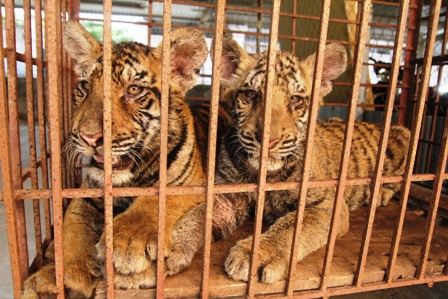 Hai cá thể hổ được cơ quan CA huyện Diễn Châu bắt giữ được