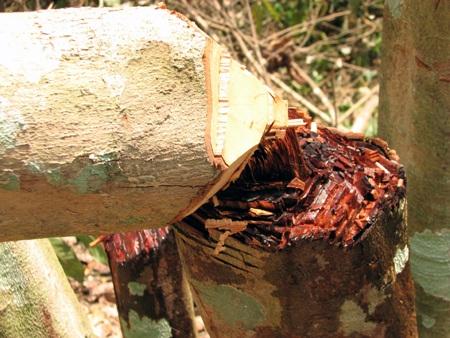 Có rất nhiều cây ở Lâm trường Cô Ba bị người dân chặt phá.