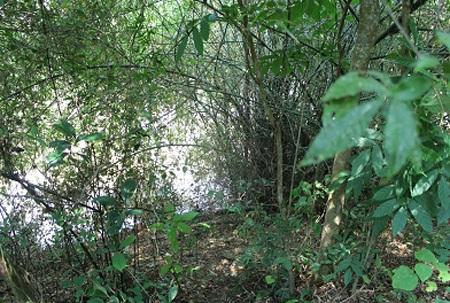Bụi tre nơi tìm thấy thi thể cháu Hòa (lúc cháu Hòa mất tích, bụi tre bị ngập nước).