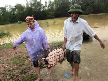 Người dân xã Hưng Lợi, Hưng Nguyên (Nghệ An) đưa lợn đi chạy lụt (Ảnh: Doãn Hòa)