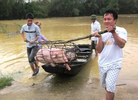 Vận chuyển đàn lợn đi tránh lũ