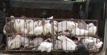 Số chim bồ câu nhập lâu mang nhiều nguy cơ dịch bệnh.