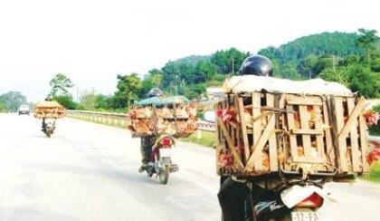 Cửu vạn chở gà lậu lợi dụng khi các cơ quan chức năng thiếu kiểm soát chạy rầm rầm trên Quốc lộ.
