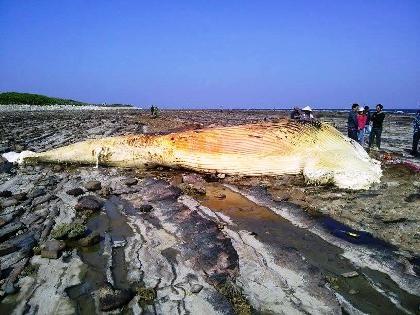 Xác cá voi khổng lồđược xe cẩuđưa vào bờ.