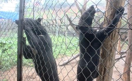 Hai cá thể gấu ngựa là tang vật của một vụ buôn lậu qua biên giới Lào vào Việt Nam