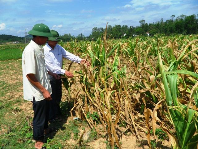Nhiều diện tích ngô tại huyện Nghi Lộc bị mất trắng hoặc giảm năng suất do nắng hạn kéo dài.