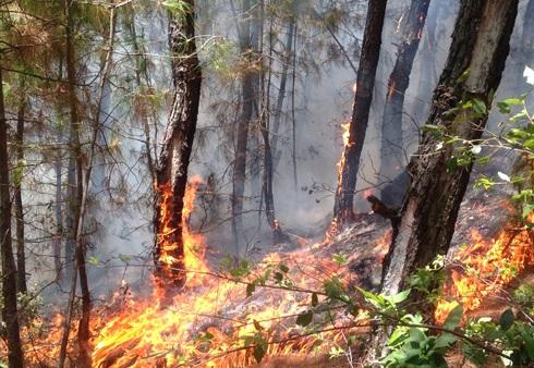Rừng thông đang trong giai đoạn khai thác nhựa bị cháy (Ảnh Phan Hải).