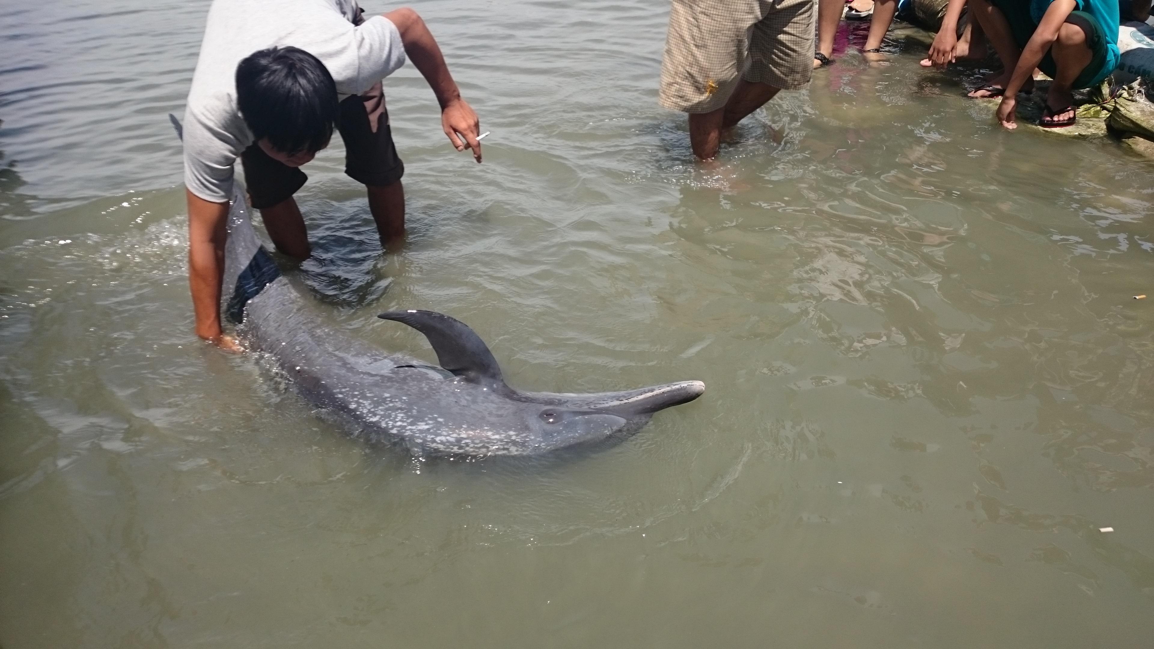 Người dân đang tổ chức ứng cứu cá heo để thả về biển
