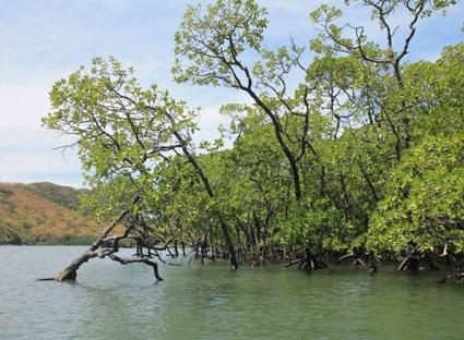 Rừng ngập nước Côn Đảo luôn được bảo vệ xanh tốt.