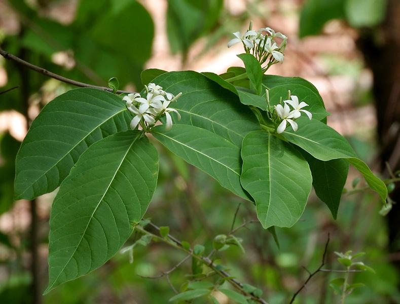 Mộc hoa trắng – thảo dược quý trị viêm đại tràng