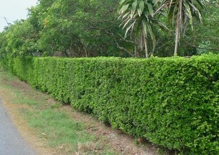 Dân nhà giàu nhìn hàng rào xanh của ông Triết mê lắm nhưng không thể mua được
