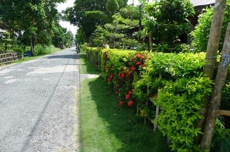 Hàng rào bằng cây ngâu của ông Triết có tuổi thọ trên 20 năm