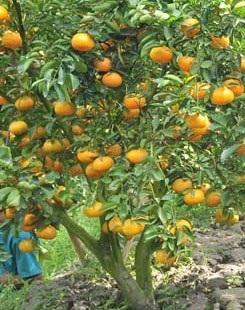 Mỗi cây quýt khi đưa vào chậu cho từ 30 - 70 trái và có giá bán từ 700.000 - 3.000.000 đồng/ chậu