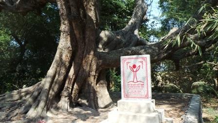 Hàng ngày có nhiều người từ phương xa tìm đến đây để chiêm ngắm cây me có thế tuyệt đẹp này
