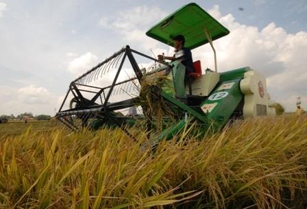 Hiện tại nông dân ở các tỉnh ĐBSCL đang bước vào mùa thu hoạch rộ vụ lúa đông xuân 2013 - 2014