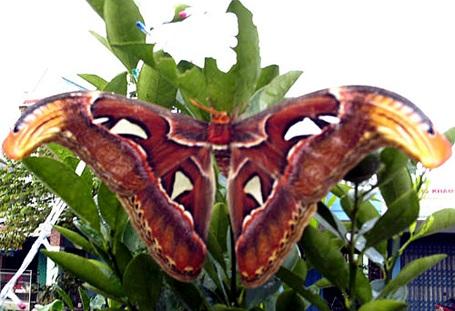 Phát hiện bướm khổng lồ sải cánh gần 50 cm - 1
