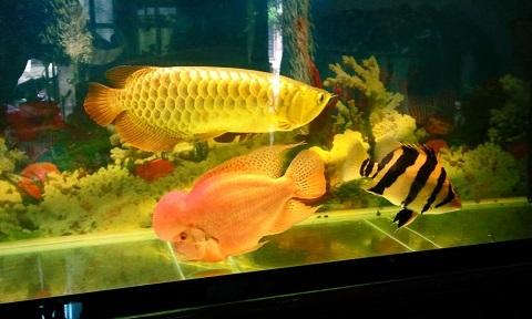 Cá rồng Kim Long Quá Bối 24k 999 đang được nhiều người ưa chuộng mua về chơi tết