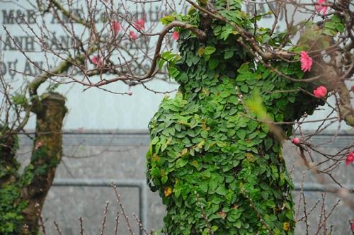 Đào thế bonsai phủ dây leo xanh mướt