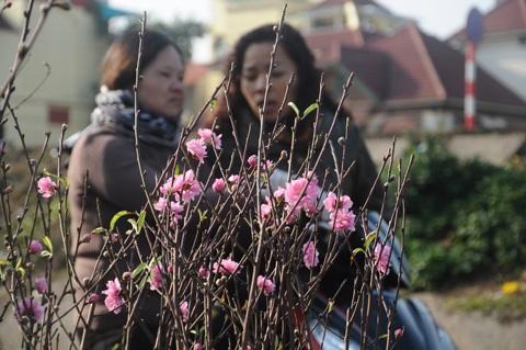 Nhiều người dân Thủ đô khi chọn đào ở chợ Quảng Bá chưa ưng đã tìm tới tận vườn đào để mua về