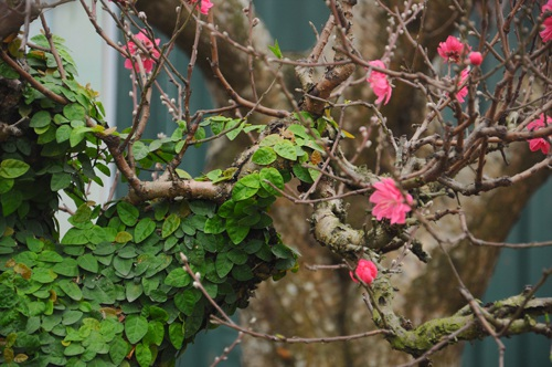 Để tạo ra đào thế bonsai phủ cây xanh, những người trồng phải tốn nhiều công chăm sóc