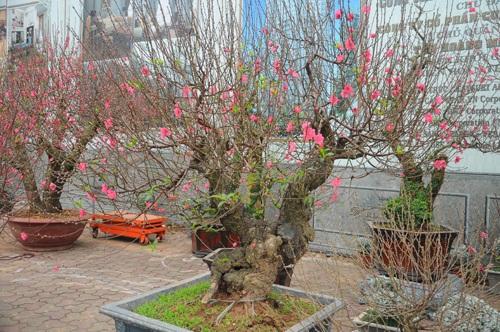 Đào cổ thụ bonsai giá chục triệu hút khách chơi Tết