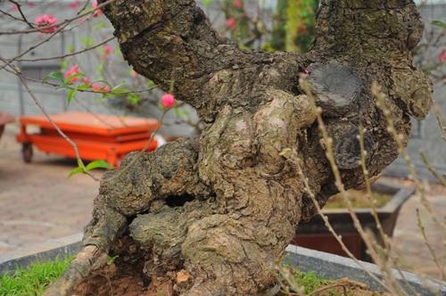 Năm nay, những dáng đào bonsai được nhiều chủ kinh doanh bung ra bán dịp tết
