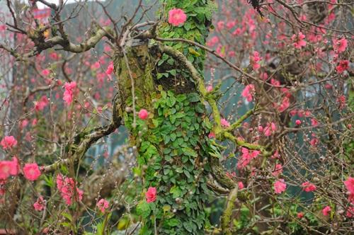 Đặc biệt là loại đào dáng bonsai được phủ vẩy ốc là những cây leo xanh mướt