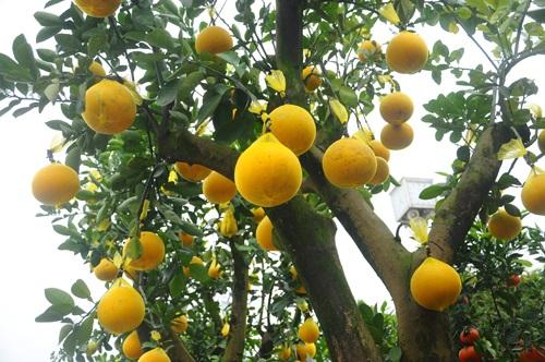 Một cây bưởi cảnh tài lộc có khoảng 40 quả trên cây