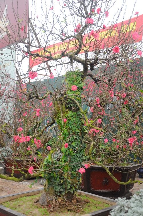 Giá để mua những cây đào bonsai phủ cây leo xanh này đắt hơn so với đào thế thông thường