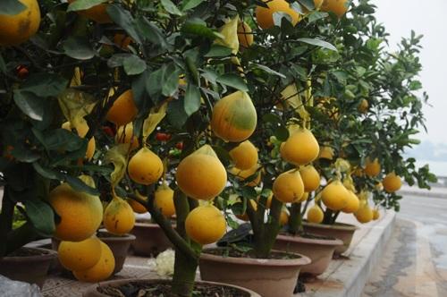 Nhiều quả được chủ vườn bọc lưới để tránh bị rụng