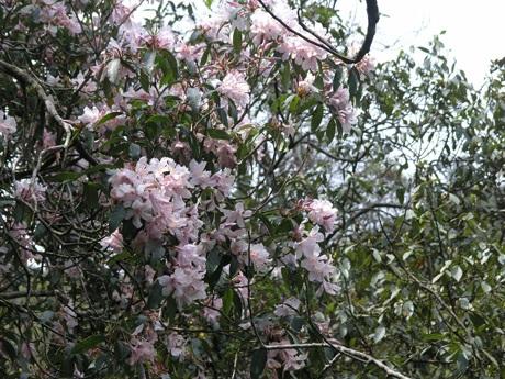 Hoa đỗ quyên màu hồng núi Hoàng Liên (Sa Pa)