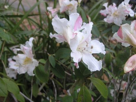 Hoa đỗ quyên trắng