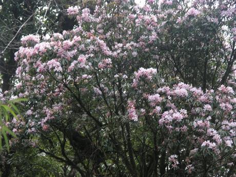 Hoa đỗ quyên đại thụ mọc hoang dã độ cao từ hơn 2.000 mét nở hồng cả góc núi Hoàng Liên (Sa Pa).